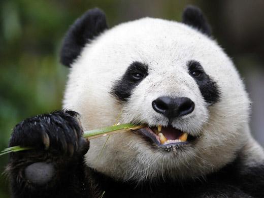 panda-reference